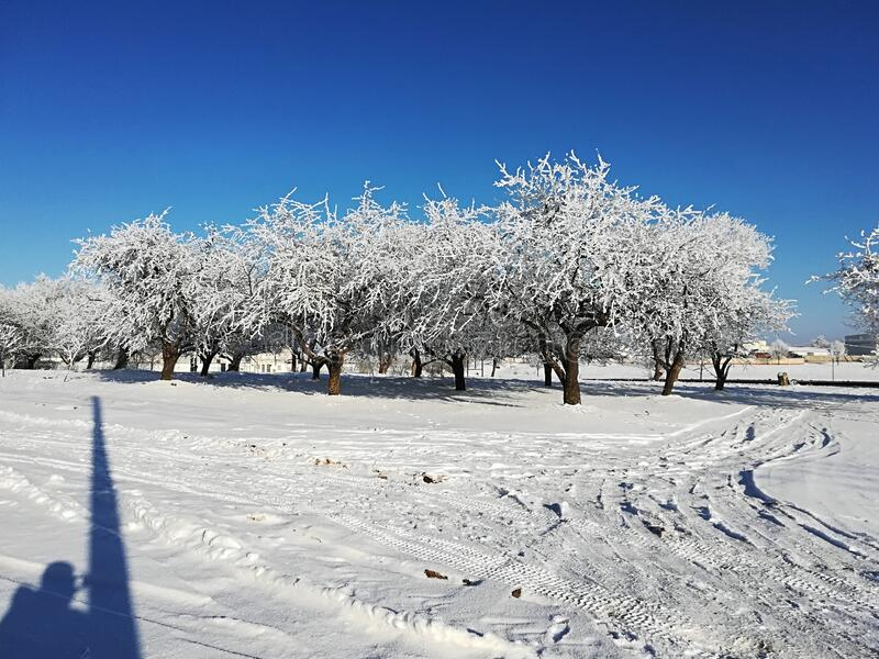Snow covered trees on a clear sunny winter day.  royalty free stock photo