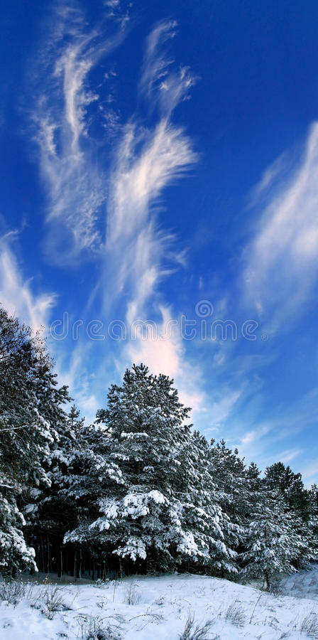 Snow-covered Trees in the forest stock photo
