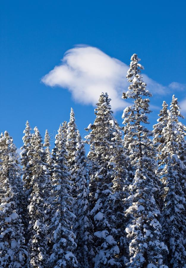 Snow covered trees in the forest in Banff National Park stock photography