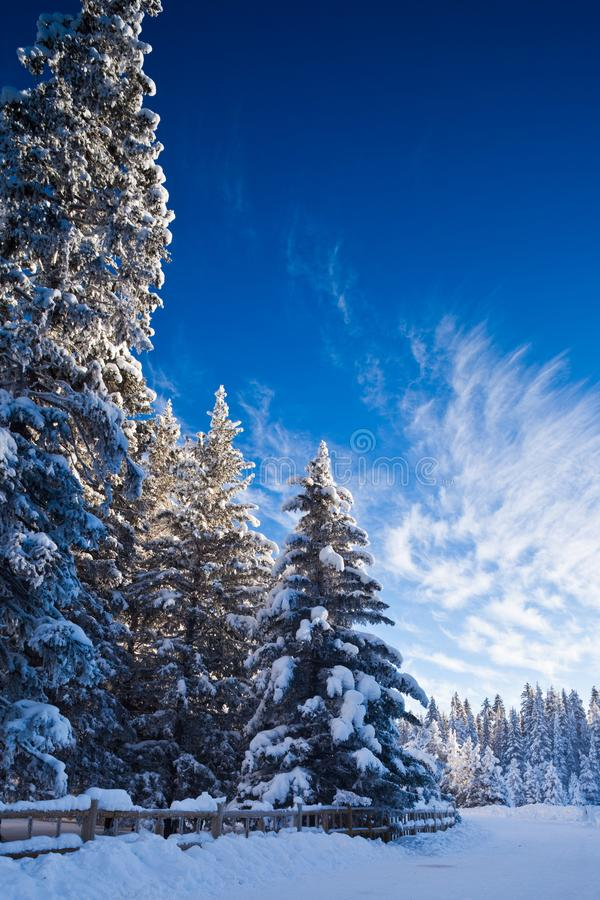 Snow covered trees in the forest in Banff National Park stock image