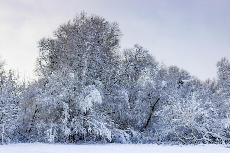 Snow covered trees on the forest edge after snowfall on a cloudy winter day. Winter landscape royalty free stock images