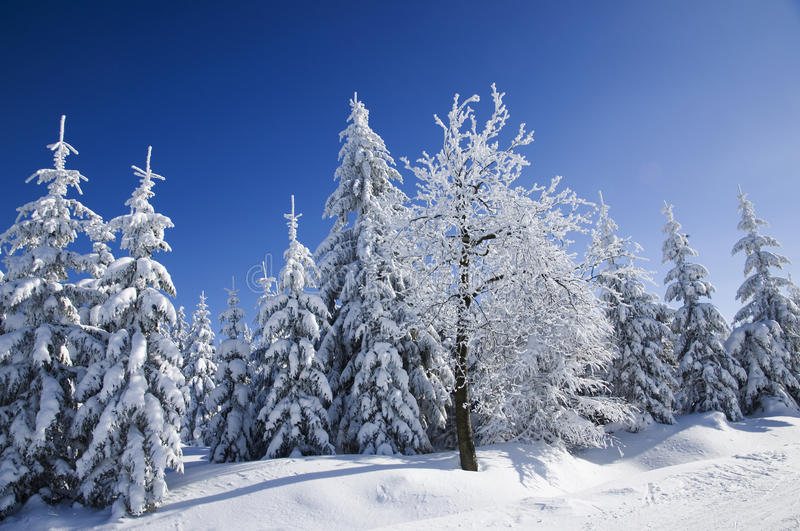 Snow covered trees. Group of snow coated trees in the Jizerske mountains, Czech royalty free stock photo