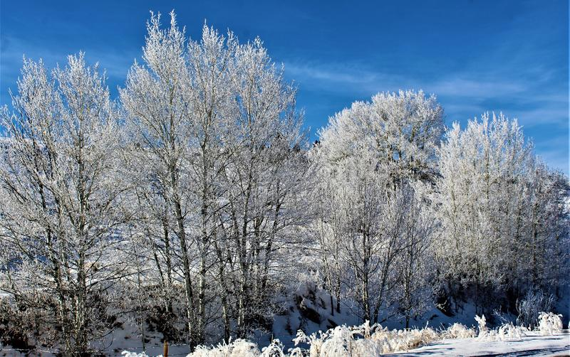 Snow covered trees, Montana. Snow covered trees in winter field against blue skies on foggy morning in Montana, USA royalty free stock photo