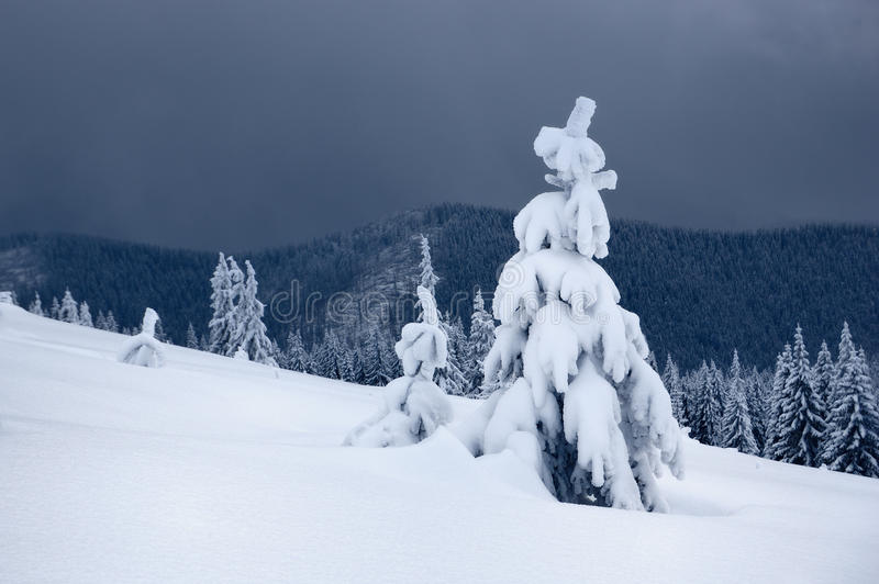 Snow-covered trees on a ridge. Winter. Covered with snow tree. The picture was taken in the Ukrainian Carpathians Ridge Kukule stock images