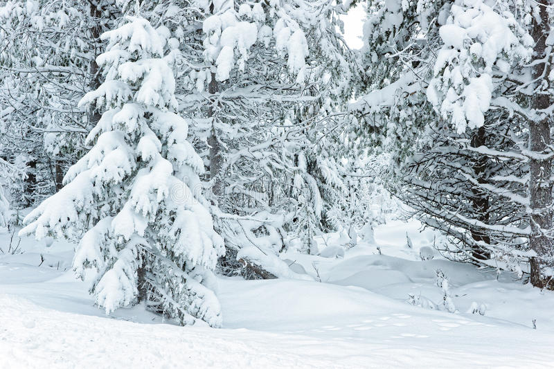 Snow covered trees in Ruka in Finland on the Arctic pole circle stock photos