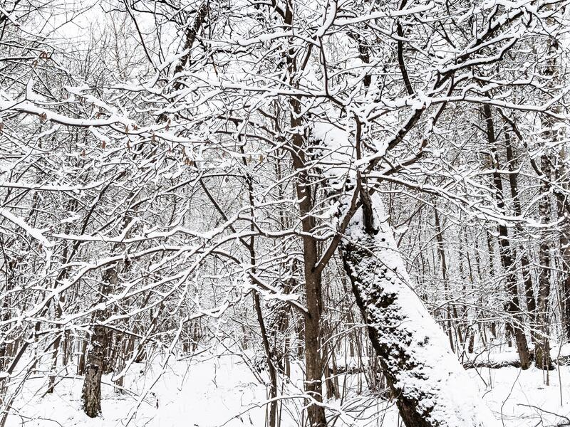 Snow-covered trees in snowy forest of city park. On overcast winter day stock images