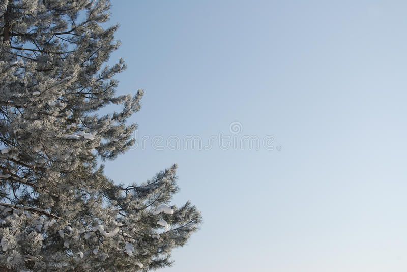 Snow covered trees on a sunny winter day. Winter rime and snow covered tree tops on blue sky royalty free stock images
