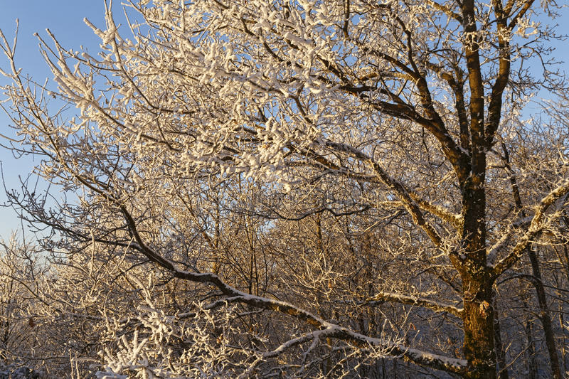 Download Snow Covered Trees In The Sunset Stock Image - Image: 83711279