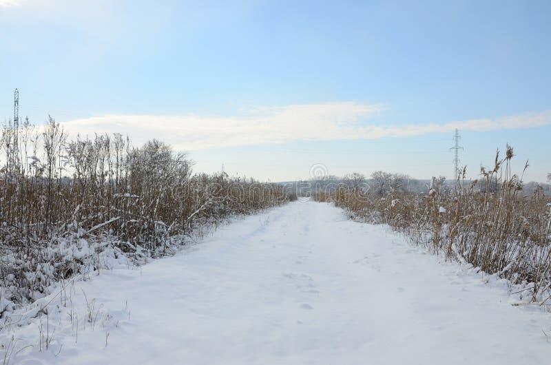 Snow-covered wild moeras met heel wat geel die riet, met een laag van sneeuw wordt behandeld De winterlandschap in moerasland royalty-vrije stock afbeelding