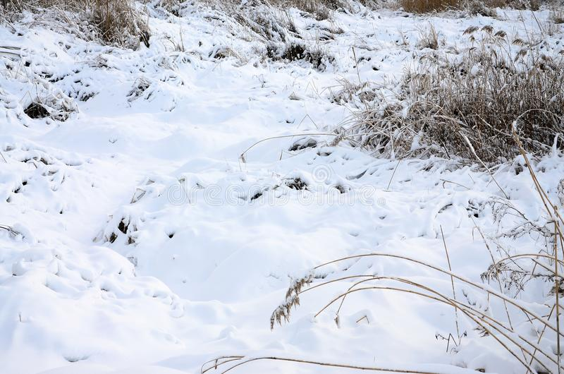 Snow-covered wild swamp with a lot of yellow reeds, covered with a layer of snow. Winter landscape in marshland.  royalty free stock photography
