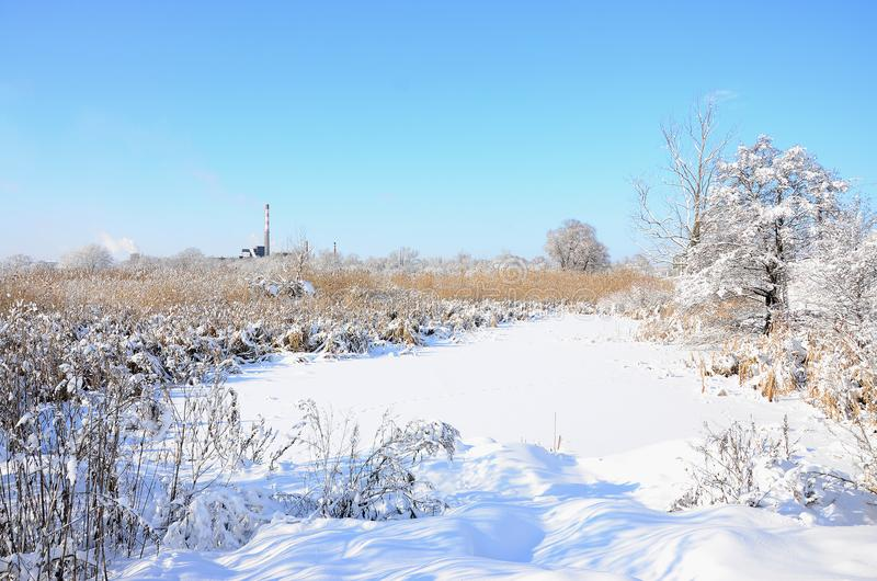 Snow-covered wild swamp with a lot of yellow reeds, covered with a layer of snow. Winter landscape in marshland.  stock photo