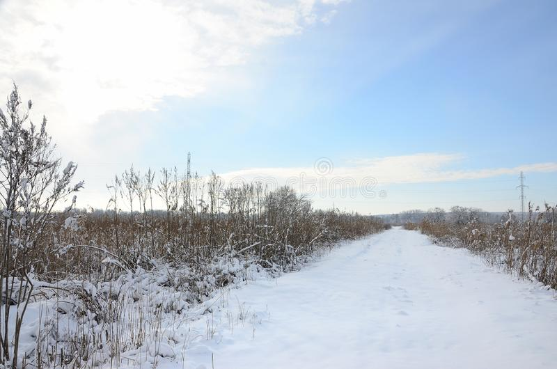 Snow-covered wild swamp with a lot of yellow reeds, covered with a layer of snow. Winter landscape in marshland.  royalty free stock image