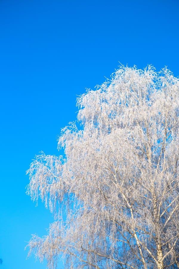 Snow covered winter birch tree tops blue sky. Winter landscape. Snow covered winter birch tree tops blue sky stock image