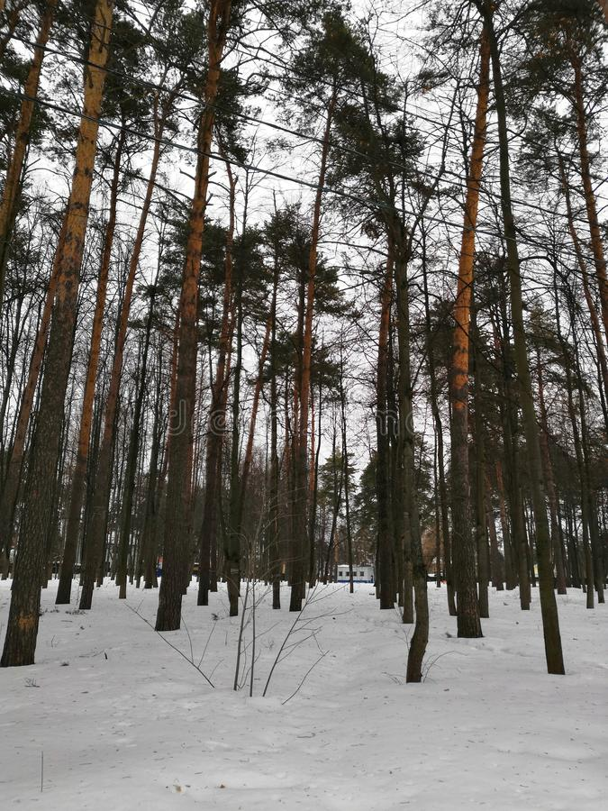 Snow covered winter forest. Tall pine trees. White landscape in a cold day stock photos