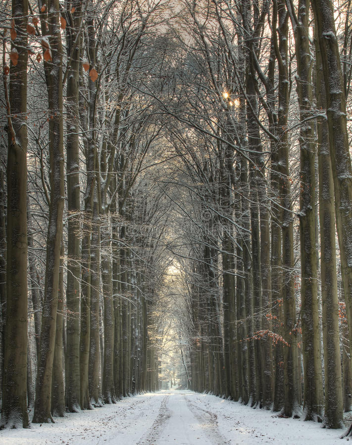 Snow covered winter lane. Beautiful winter lane, with big trees on both sides of this symmetrical composition, with trees and pathway covered with fresh snow royalty free stock images