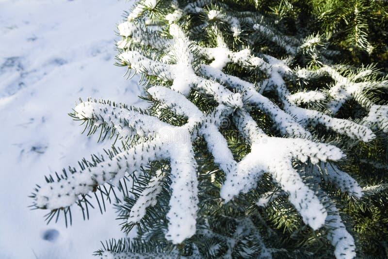 Snow-covered Zweige stockfotos