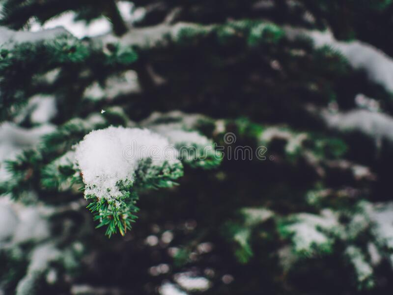 Snow covering pine tree branches royalty free stock images