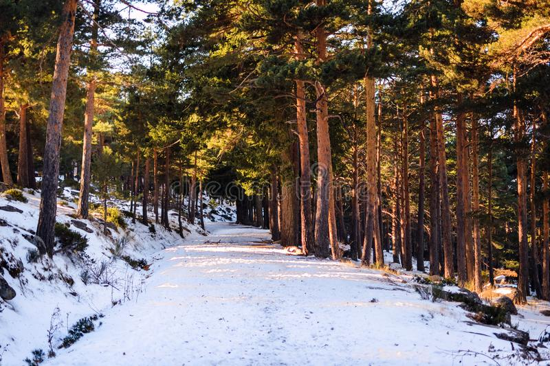 Snow covers a trail in winter. In a forest in Canencia, Madrid, Spain royalty free stock photos