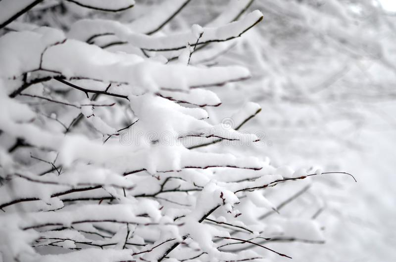 Snow-cowered branches tree. Winter blur background. stock images