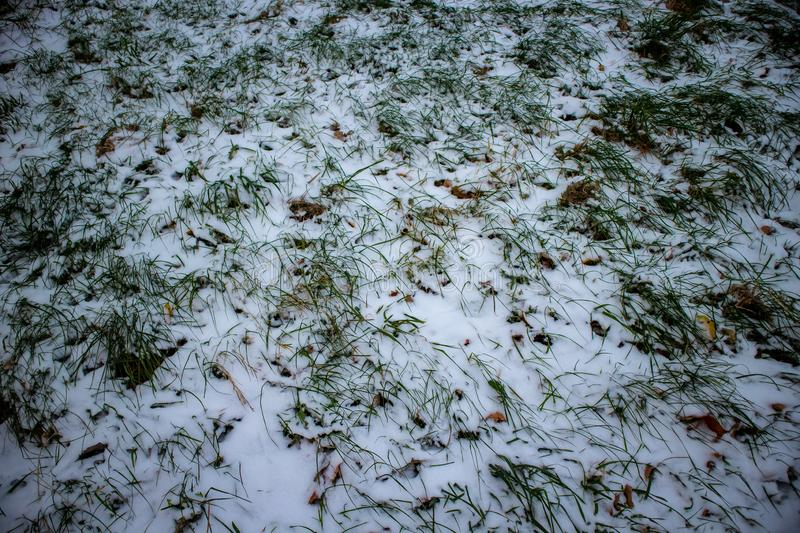 Frozen weed snow cowered royalty free stock photos