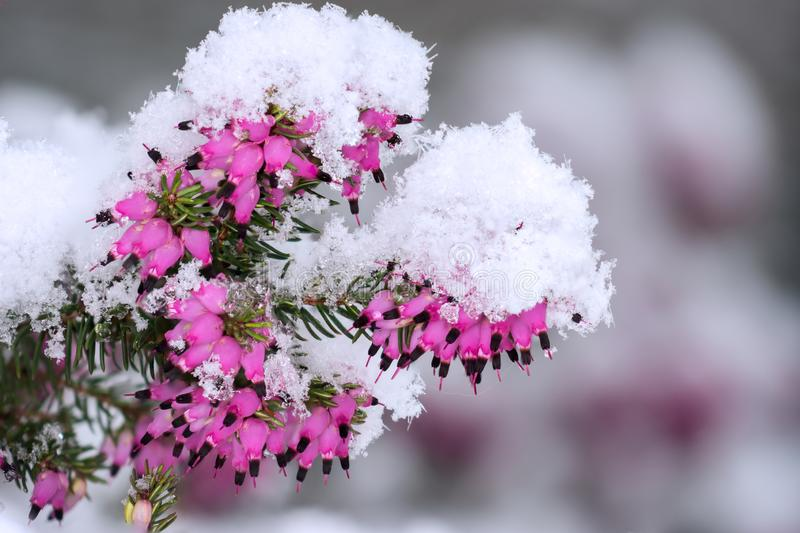 Snow crystals on heather in flowers. The snow falls on the mauve pink flowers of the heather stock photo