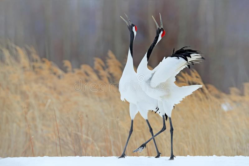 Snow dance in nature. Wildlife scene from snowy nature. Cold winter. Snowy. Snowfall two Red-crowned crane in snow meadow, with sn. Snowfall Red-crowned crane in royalty free stock photos