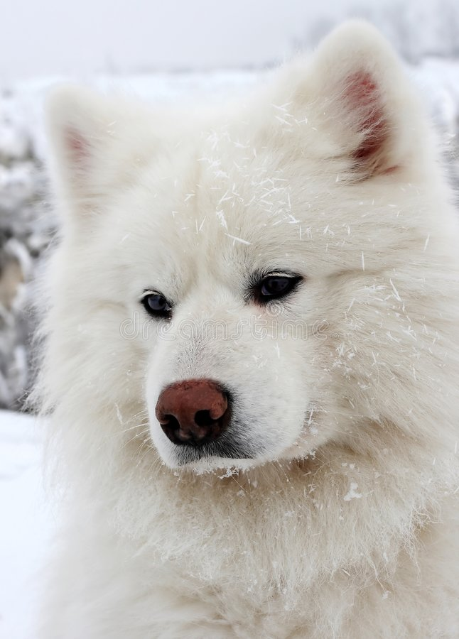 Download Snow dog stock image. Image of puppy, breed, cream, great - 5544919