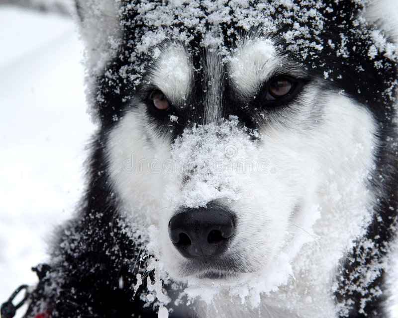 Snow Dog. Husky mix covered in snow