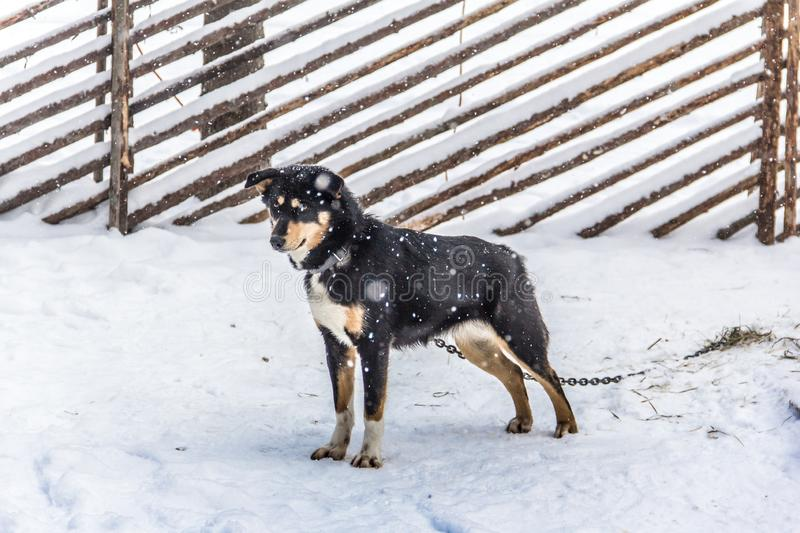 Snow dog from  Karelia. Snow dog the best friend of man husky funny animal North photography pet stock photo