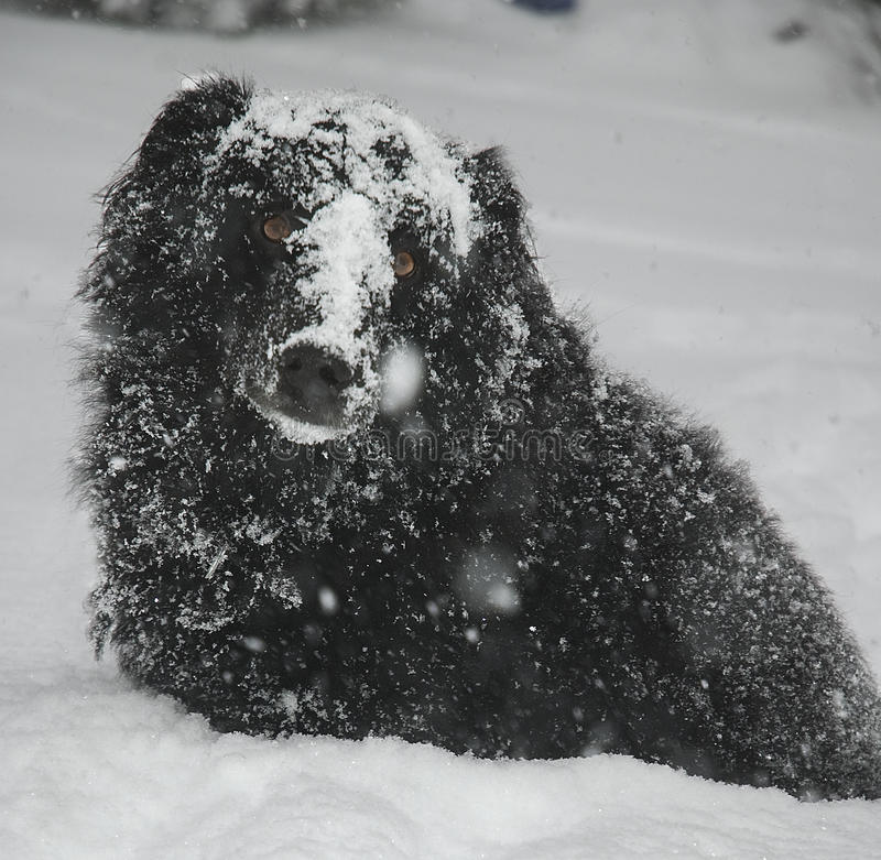 Snow dog. Black dog enjoying snowy winter day royalty free stock images