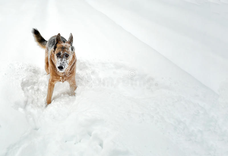 Download Snow Dog stock photo. Image of frozen, playing, snow - 35945548