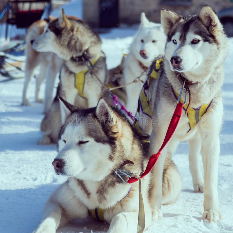 snow dogs stock images