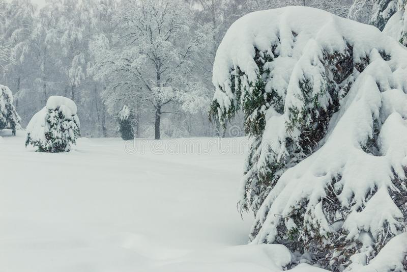 Snow drifts on the branches of trees and spruce in the winter. Forest royalty free stock images