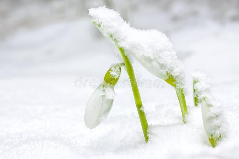 Snow Drop royalty free stock photos