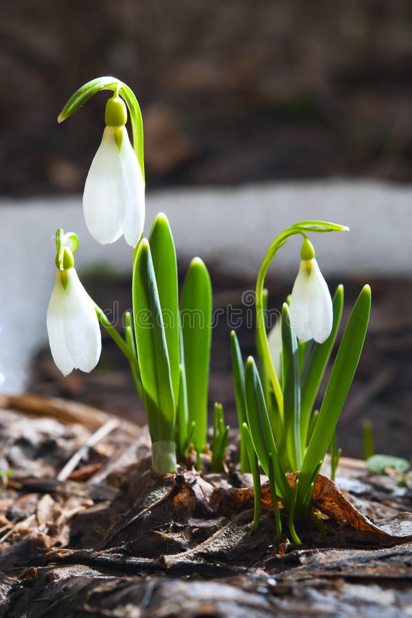 Free Snow Drops Stock Image - 23812341
