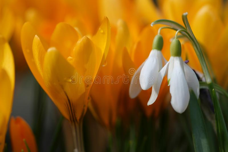 Snow-drops and crocuses royalty free stock images