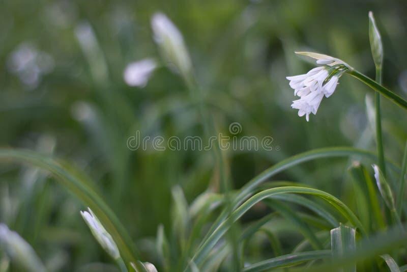 Snow drops in the grass stock photos