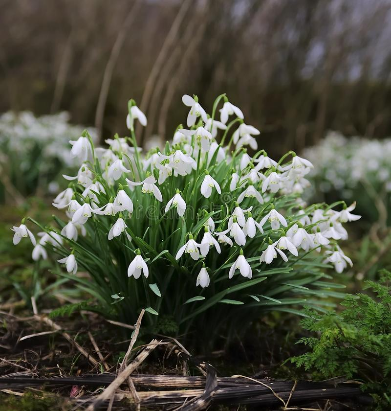 Snow Drops. Wild bunch of Spring Snow Drops stock photography