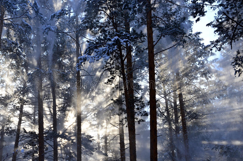 Snow dust. Sun rays shining through falling from trees the snow. In the winter forest. stock photo