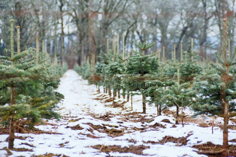 Snow Dusted Pine Tree/Christmas Tree Farm, Snow Covered Ground/Rich Brown Soil, Woods and Overcast Pale Blue Sky in Out of Focus B. Ackground, Daytime royalty free stock photography