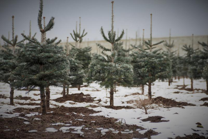 Snow Dusted Pine Tree/Christmas Tree Farm, Snow Covered Ground/Rich Brown Soil, Woods and Overcast Pale Blue Sky in Out of Focus. Background, Daytime stock photos
