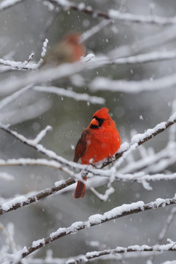 snow för 2 kardinal royaltyfri foto