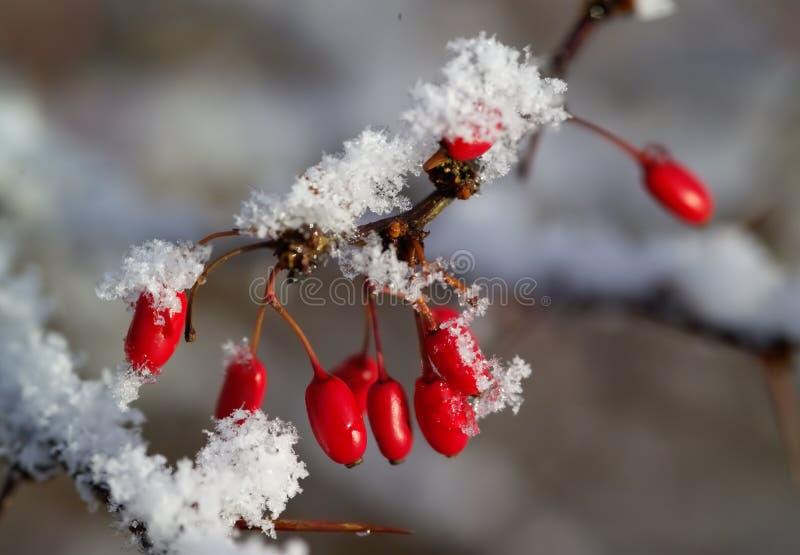 snow för berberisbärred arkivbild