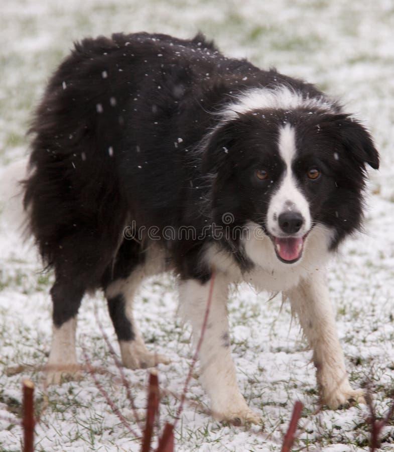 snow för kantcollie arkivfoton