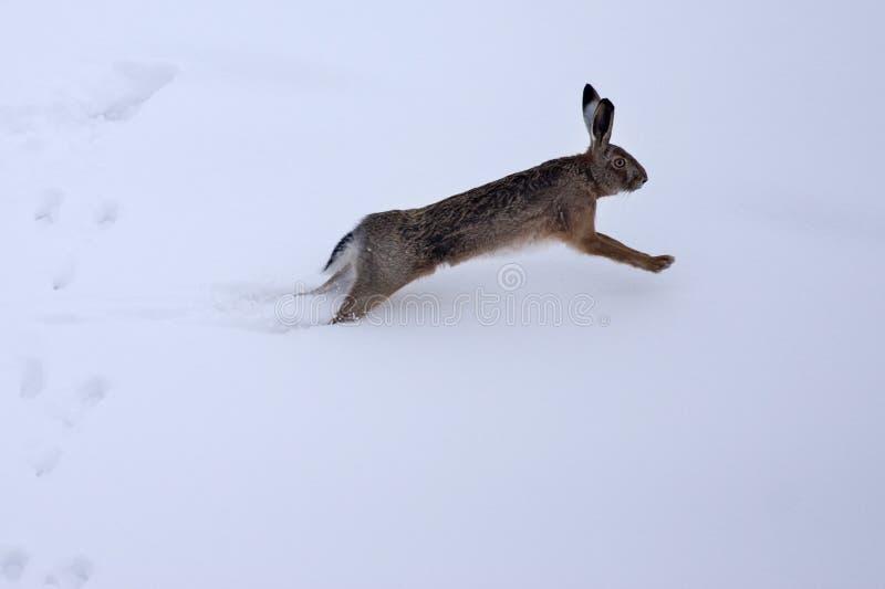 snow för lepus för europeiska hare för europaeus royaltyfria bilder