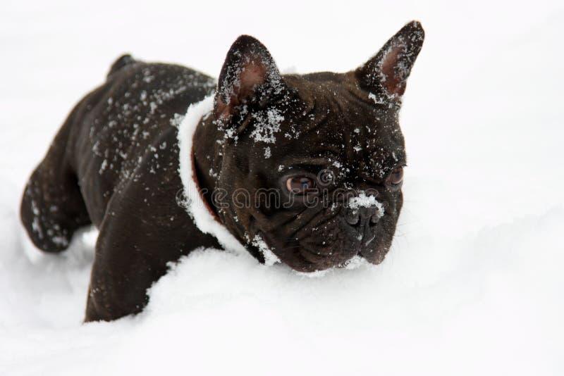 snow för tjurhundfransman royaltyfri fotografi