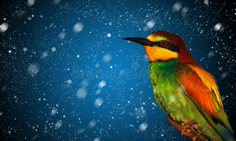 Snow falling and colored bird royalty free stock photography