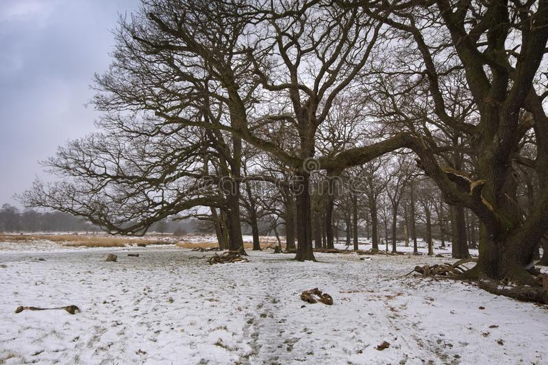 Snow falling over majestic trees in Richmond park on a winter day stock images