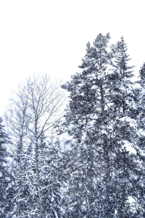Download Snow Falling Trees Stock Image - Image: 13317891