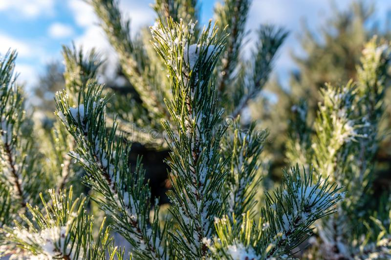 Snow fir tree branches under snowfall. Winter detail.  stock images